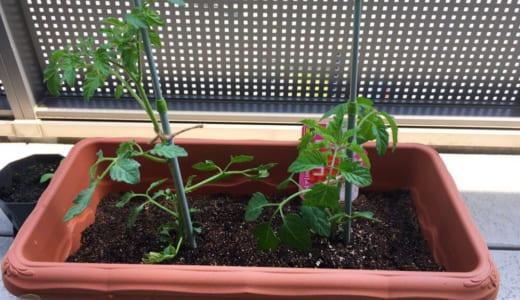 昨年のリベンジ!今年もミニトマトを育てはじめました