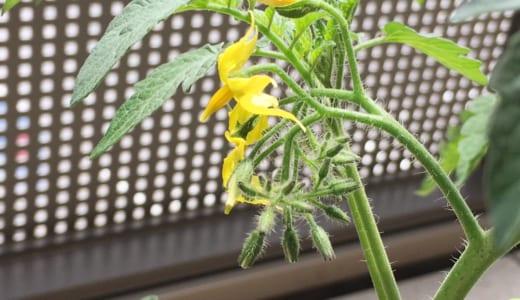 10日で10cm以上の成長!ミニトマトはすくすくと育っています