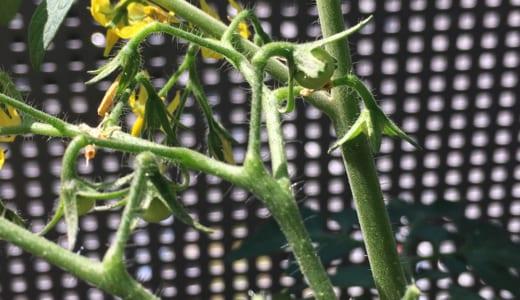 連続で花が落ちて心配だったミニトマト。対策を考えていたけれど、、、実ができてる!