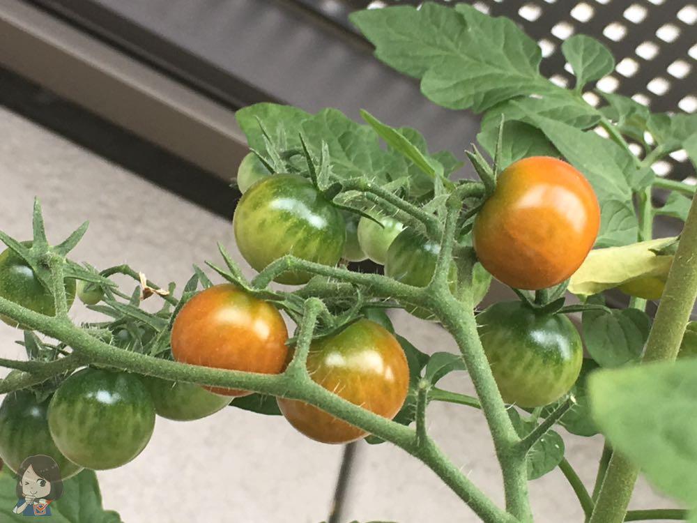 赤くなってきたミニトマト
