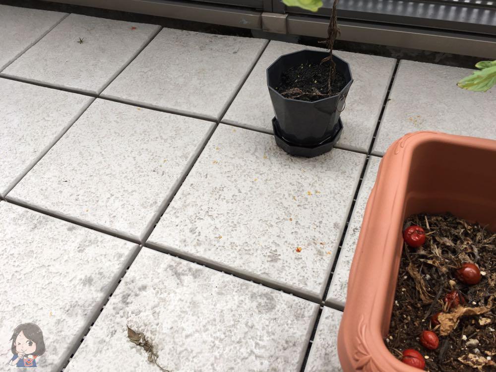ベランダに散らばっているミニトマトの中身