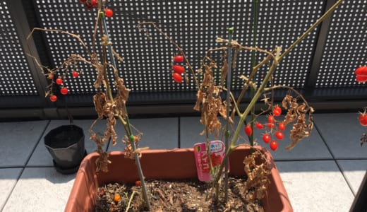 我が家のミニトマト、終了のお知らせ